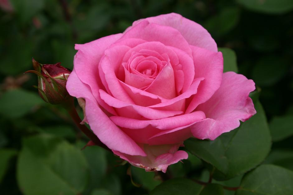 Bed Met Rozen.La Vie En Roses In Foto S Gastenverblijf Bed And Breakfast En